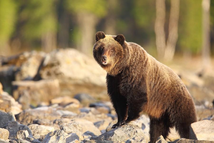 Медведь Байкал