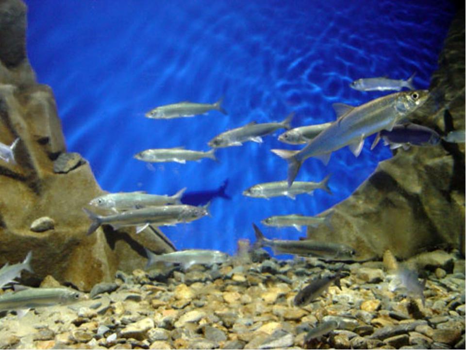 Рыба Байкала