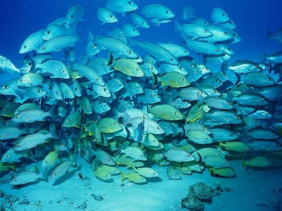 Рыба Тихого океана